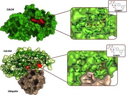 Structures of CC0651 bound to an allosteric pocket on the E2-conjugating enzyme Cdc34Top: crystal structure of the Cdc34–CC0651 binary complex (PDB code 3RZ3). The protein and its ligand are shown as molecular surface representations. Inset: Cdc34 residues (green carbons) forming the binding pocket and the CC0651 ligand (yellow carbons). Bottom: crystal structure of the ternary complex Cdc34A~Ub–CC0651 (PDB code 4MDK). CC0651 (yellow carbons) is bound embedded within the Cdc34A~Ub covalent conjugate protein. CC0651 suppresses the hydrolysis of the thioester bond between the catalytic cysteine residue of Cdc34 (green carbons, cysteine residue not shown) and ubiquitin (brown carbons, Lys48 side chain shown). Oxygen atoms are in red, nitrogen atoms are in blue, and chlorine atoms are in light green.