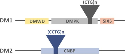 Representation of the DM-causing genes, the location of the tandem repeats and their neighboring genes.