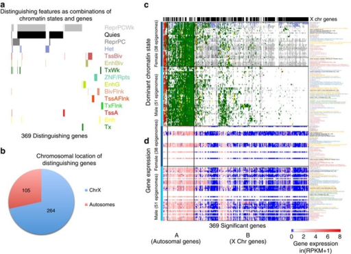 X chromsome inactivation distinguishes male and female samples.Comparison of male and female epigenomes identifies (a) 536 distinguishing features that are associated with 369 genes and all 15 chromatin states, where (b) 264 of the 369 genes are located on the X chromosome. (c) 124 of the identified X chromsome genes are mainly quiescent in male samples but weakly repressed or heterochromatic in female cell types (mostly in cluster B), while 56 genes are transcribed in female and male samples (mostly autosomal genes in cluster A), shown here by the most abundant chromatin state for these genes. (d) Expression data for these genes (when available) confirm similar expression levels between male and female samples, as suggested by the chromatin state annotations.
