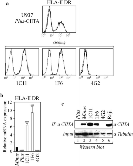 Cellular and molecular characterization of U937 Plus cells stably expressing exogenous CIITA. a U937 Plus cells were stably transfected with pcfCIITA vector expressing flag-tagged CIITA, generating Plus-CIITA cells. Bulk population was analyzed for HLA-II DR expression by FACS analysis. HLA-II-positive clones were isolated by sorting and cloning. FITC-conjugated isotype-matched secondary antibody (IgG2a) (dotted line) represents the negative control. b HLA-II DR mRNA expression was assessed by qRT-PCR in U937 Minus cells, U937 Plus cells and in clones 1C11, 1F6, 4G2. The results of a representative experiment performed in triplicates are shown. mRNA values are expressed relatively to that of Minus cells set to 1. Unpaired two-tailed t test has been performed (****P < 0.0001; ***P < 0.005). Error bars represent the standard deviation. c Cell lysates obtained from U937 Plus cells (60 × 106 cells) (lane 1), U937 Minus cells (60 × 106 cells) (lane 2) and CIITA-transfected Plus clones (30 × 106 cells) (lanes 3–5) were immunoprecipitated with an anti-CIITA antibody (IP a CIITA) and analyzed for the presence of CIITA by western blotting. Raji cell lysate (30 × 106 cells) was used as a positive control of CIITA expression (lane 6). Eight percent of the pre-cleared cell lysates was analyzed for the expression of α-tubulin by western blotting (input)