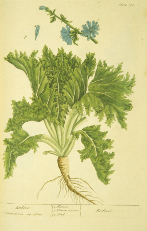 <p>Illustration of the flower and seed of an endive plant.</p>