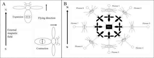 The magnetic map hypothesis of magnetoreception for orientation and positioning during foraging and homing. (A) When honeybees fly in the direction paralleled to external magnetic field, MG expands due to the repellent force of SM. When honeybees fly in the perpendicular direction to external magnetic field, MG contracts in the same direction due to the attractive force of SM. (B) The direction of magnetic field of SM is parallel to the direction of Earth's magnetic field at flower 1. SM would be in a side-by-side position, creating repulsion and subsequent expansion of the MGs. At the flower 3, the direction of magnetic field of SM is vertical to the direction of Earth's magnetic field. SM would be positioned end-to-end, creating attraction and subsequent contraction of the MGs. This contraction induces the tensing of cytoskeletons and triggers the increase of [Ca+2]i in trophocytes. At flower 2, the relaxing and tensing of cytoskeletons is a mixture of flower 1 and flower 3. The direction of magnetic field of SM at the flower 1 is the same as flower 5. Flower 2 is the same as flower 6, and so on. The distinction in both cases is dependent on the direction of waggle dance.