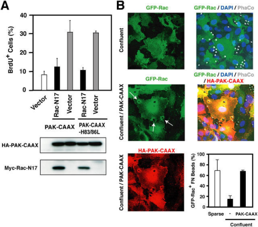 PAK promotes recruitment of Rac to matrix adhesions. (A) Cells were cotransfected with GFP and empty vector, or vector encoding activated PAK (PAK-CAAX) or Pak-CAAX-H83/86L, in combination or not with dominant-negative Rac (Rac-N17). G0-synchronized cells were plated on FN under confluent conditions and incubated with mitogens and BrdU for 20 h. The percentage of transfected cells entering S phase was determined as described in Fig. 2. PAK-CAAX was tagged with HA and hence detected by immunoblotting with anti-HA, whereas Rac-N17 was tagged with Myc and thus detected with anti-Myc. (B) HUVEC were transfected with GFP-Rac in combination with empty vector or vector encoding activated PAK (PAK-CAAX). They were then synchronized in G0 and plated on FN under sparse or confluent conditions. FN-coated beads were applied for 25 min. The cells were fixed and stained with anti-HA to detect PAK-CAAX (red) and DAPI to stain nuclei (blue). Arrows point to FN-coated beads that induced recruitment of GFP-Rac. The graph shows the percentage of GFP-Rac–positive beads under the indicated conditions. Error bars represent the mean ± SD.