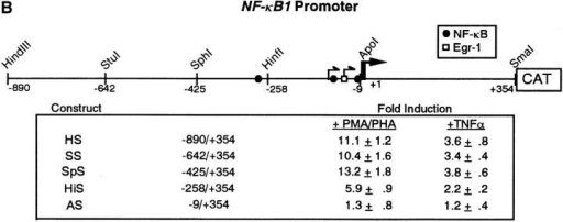NF-κB1 gene expression and  promoter analysis in CEM cells after PMA/ PHA or TNF-α stimulation. (A) RNAs  were isolated from CEM cells after addition  of either PMA/PHA (50 ng and 5 μg/ml)  or TNF-α (10 ng/ml) over the time course  indicated. RNAs were detected using a 32Plabeled NF-κB1-specific probe. Transcripts  encoding NF-κB1 were quantitated by densitometric scanning of autoradiograms and  the fold accumulation of mRNAs were calculated after normalization to β-actin. (B)  Schematic of the NF-κB1 promoter depicting the Egr-1 and NF-κB binding sites.  CEM cells were transfected with either the  HS-CAT reporter or with various deletion  constructs (SS-, SpS-, HiS-, and AS-CAT).  18 h after transfection, cells were stimulated  with either PMA/PHA (50 ng and 5 μg/ ml) or TNF-α (10 ng/ml) and CAT activity  was analyzed. Transfection experiments  were performed in triplicate and the mean  fold induction and the standard deviations  are shown.