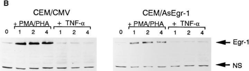 Egr-1 is required for endogenous NF-κB1 gene expression. (A) Total  RNAs were isolated from CEM/CMV  control cells or from CEM/AsEgr-1 cells  stimulated with either PMA/PHA or  TNF-α over a 4 h period. RNAs were detected using a 32P-labeled NF-κB1 specific  probe. (B) Total proteins were isolated from  CEM/CMV or CEM/AsEgr-1 cells after  the addition of either PMA/PHA or TNF-α.  Proteins were subjected to PAGE and analyzed using an Egr-1–specific antibody and  enhanced chemiluminescent assay. NS, shows  the presence of a nonspecific band and  demonstrates that equal amounts of protein  were loaded in each lane.
