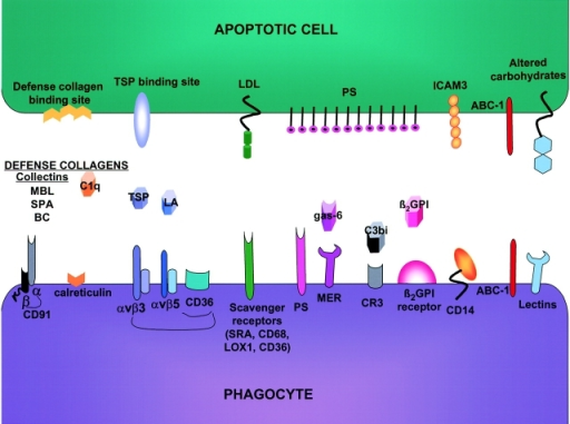 Phagocyte apoptotic cell interactions. Several receptors are implicated in the uptake of ACs by phagocytes. These receptors interact with their ligands on the AC either directly or via bridging proteins. The dominance, cooperation, and redundancy amongst these receptors are discussed in the text. BC, bovine conglutinin; LA, lactadherin; TSP, thrombospondin. MBL, SPA, BC, and C1q are defense collagens, which bridge AC to phagocytes via calretculin and CD91. LA and TSP are putative bridging molecules for the αvβ3 and αvβ5 integrins, respectively. The latter are thought to cooperate with CD36 in AC uptake. Gas6, a product of growth arrest–specific gene 6, appears to bridge PS with receptor tyrosine kinases such as Mer.