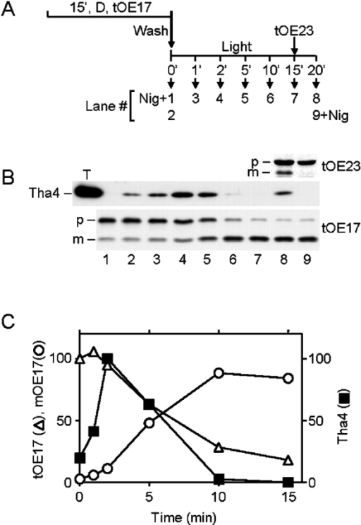 Tha4 dissociates from cpTatC–Hcf106 upon completion of translocation. Thylakoids were preincubated with radiolabeled tOE17 in the dark on ice for 15 min as previously described (Ma and Cline, 2000). After washing and resuspension in transport buffer at 0.33 mg Chl/ml, transport from the bound state was initiated by transfer of the thylakoids to a 25°C illuminated water bath. After a 15-min transport reaction, radiolabeled tOE23 was added to the reaction. 0.5 μM nigericin was added to the reactions shown in lanes 1 and 9 at the same time as transfer to light (lane 1) or addition of tOE23 (lane 9). Thylakoids were withdrawn at the indicated time points, recovered by centrifugation, and analyzed by SDS-PAGE/fluorography. Chemical cross-linking was performed on duplicate aliquots at the indicated time points with 0.75 mM DSP for 5 min followed by 5 min quenching with 50 mM Tris-HCl, pH 8.0. SDS-solubilized thylakoids were subjected to immunoprecipitation with anti-Hcf106, and immunoprecipitates were analyzed by immunoblotting with anti-Tha4. The reaction scheme is shown in A. (B) Immunoblot of anti-Hcf106 immunoprecipitates with anti-Tha4 and fluorograms of samples depicting tOE17 and tOE23 transport. The positions of precursor and mature forms are designated by p and m, respectively, on the left side of the blots. A thylakoid control (lane T) contained 2.5 μg Chl of untreated thylakoids. (C) Quantification of Tha4, tOE17, and mOE17 shown in B, lanes 2–7. The density of scanned Tha4 bands on X-ray film was determined using AlphaEase software (Alpha Innotech Corp.). tOE17 and mOE17 were quantified by scintillation counting of excised gel bands and adjusted for the different leucine contents of tOE17 and mOE17. Amounts of mOE17 were corrected by subtracting the amount of mOE17 present at zero time. The amounts displayed are relative quantities; the amount of tOE17 in lane 2 and the amount of Tha4 in lane 4 were arbitrarily set to 100%.