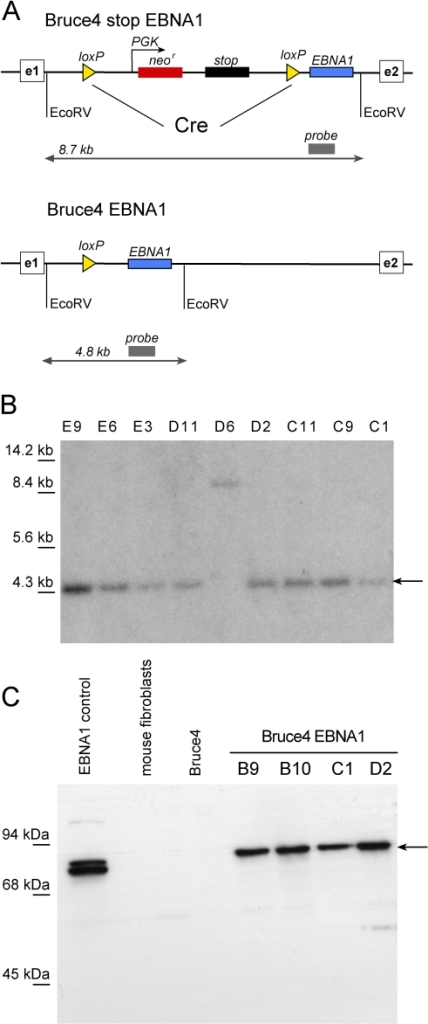 Targeting of EBNA1 into the rosa26 locus.(A) Molecular cloning strategy. A loxP flanked transcriptional stop cassette (stop) and the selectable maker gene for G418 resistance (neor) precede the EBNA1 gene in the rosa26 intron bracketed by exon 1 (e1) and exon 2 (e2) (top). After Cre-mediated deletion EBNA1 is transcribed from the ubiquitously expressed rosa26 locus in Bruce4 EBNA1 cells (bottom). (B) Southern blot analysis of several Bruce4 EBNA1 cell lines after Cre-mediated deletion of the stop cassette. The radioactive probe, depicted in (A), distinguishes between the initial targeted situation (8.7 kb) and deletion of the stop cassette (4.8 kb). (C) Expression of EBNA1 in different Bruce4 EBNA1 cell lines as confirmed by immunodetection (arrowhead). EBNA1-positive 293 cells serve as positive control, negative controls are mouse embryonic fibroblasts and parental mESCs (Bruce4).