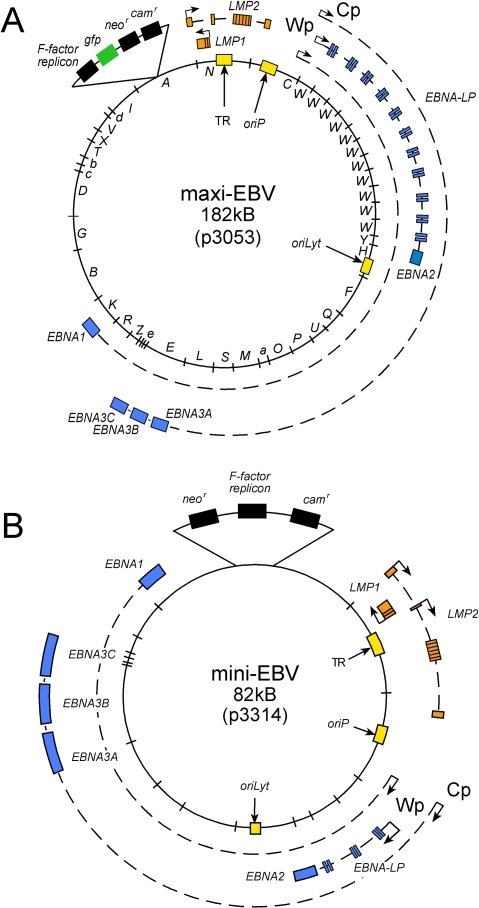 Recombinant EBV genomes.The maxi-EBV construct p3053 encompasses the prototypic EBV genome of the B95.8 strain [16], while the mini-EBV constructs p3314 lacks most lytic genes but encodes all latent viral genes [17]. Both plasmids can be selectively propagated in bacteria (F-factor replicon) under chloramphenicol selection (camr in p3314, not marked in p3053) and in eukaryotic cells under G418 selection (neor). p3053 also encodes gfp. Only latent viral genes are depicted, blue stands for EBNA genes and orange for LMP genes. Selected promoters are shown with arrowheads. 'W' stands for BamHI-W-repeats; oriP stands for the plasmid origin of replication, oriLyt is the active replication origin during virus synthesis. Terminal repeats (TR) are indispensable for encapsidation of virion DNA.