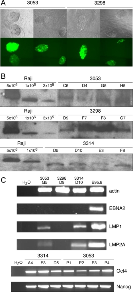 mini- and maxi-EBVs in Bruce4 EBNA1 mESCs.(A) GFP expression of the stably introduced maxi-EBV constructs p3053 and p3298 in Bruce4 EBNA1 cells. (B) Gardella gel hybridizations reveal the extrachromosomal status of the recombinant EBV genomes. Raji cells, which contain about 50 EBV genomes per cell served as a positive control. In each single lane, 5×106 Bruce4 EBNA1 cells carrying different recombinant EBVs as indicated were loaded. (C) Detection of cellular transcripts (actin, Oct4, Nanog) and viral transcripts (EBNA2, LMP1, LMP2) by RT-PCR amplification. Selected Bruce4 EBNA1 clones stably transduced with the indicated recombinant EBV constructs are shown.