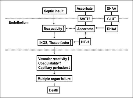 Proposed mechanisms by which ascorbate and DHAA may prevent microvascular dysfunction and death in sepsis. The dotted lines represent inhibition by ascorbate of NADPH oxidase (Nox) activity and HIF-1.