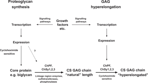 "Schema of the biochemical processes leading to the synthesis of natural chondroitin sulfate glycosaminoglycan (GAG) chains and the hyperelongation of GAG chains elicited by multiple cell signaling pathways resulting from the action of growth factor such as PDGF and TGFβ. ChSy chondroitin synthase; ChPF chondroitin polymerizing factor. The scheme to the left shows the normal biosynthesis of a proteoglycan core protein which is new protein and therefore cycloheximide sensitive but is also subject, based on individual and specific core proteins, to up regulation by growth factors. Various combinations, at least pairs of polymerases (see Table 1) add monosaccharides to the preformed tetrasaccharide linkage region on a serine residue on the core protein to produce the ""natural"" length glycosaminoglycan (GAG) chain. To the right of the scheme it is indicated that growth factors can intervene to result in the production of longer, so called hyperelon-gated GAG chains and although this is cycloheximide sensitive (see text) and acutely requires new protein synthesis the site at which the new protein synthesis occurs, either in the signaling pathway or in the actual transporters and enzymes that synthesis GAGs is unknown. The GAG elongation in response to growth factors is of the order of 20 per cent but this is sufficient to half the affinity of binding of the GAG chain to LDL."