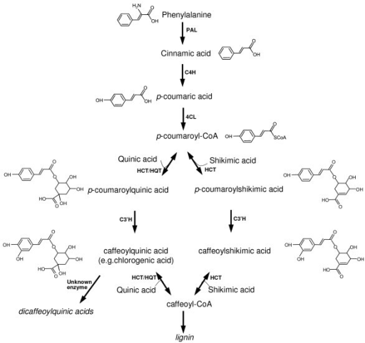 A simplified diagram of enzymes and major products in the synthesis of chlorogenic acid in plants. The product names appear between the arrows. Enzymes involved in this pathway are: PAL, phenylalanine ammonia lyase; C4H, cinnamate 4-hydroxylase; 4CL, 4-hydroxycinnamoyl-CoA ligase; HCT, hydroxycinnamoyl-CoA shikimate/quinate hydroxycinnamoyl transferase; HQT, hydroxycinnamoyl CoA quinate hydroxycinnamoyl transferase; C3'H, p-coumaroyl ester 3'-hydroxylase.