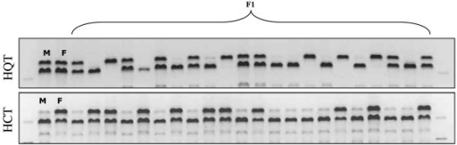 Results of tetra-primer ARMS PCR reactions. Segregation of HQTsnp359 (a) and HCTsnp97 (b) in the mapping population, as detected by tetra-primers ARMS-PCR on 2% agarose gel. M = male parent and F = female parent.