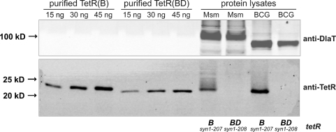 Comparison of TetR steady state levels in M. smegmatis and M. bovis BCG containing tetR(B)syn1–207 or tetR(BD)syn1–208. Protein lysates were from M. smegmatis (labeled 'Msm') and M. bovis BCG (labeled 'BCG') containing episomally replicating Pimyc-tetR plasmids. A monoclonal anti-TetR antibody recognizing an epitope within the DNA-binding region of TetR was used to detect purified TetR as well as TetR in protein lysates from M. smegmatis and M. bovis BCG. The DlaT signal was used as a loading control and detected by a polyclonal anti-DlaT antibody.