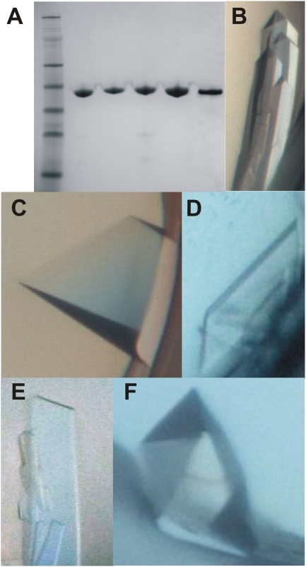 Purification and crystallization of Hsp70 isoforms.(A) Coomassie-stained SDS-polyacrylamide gel showing the purity of the crystallized proteins. (B-F) Examples of crystals grown under the conditions that yielded the datasets. (B) HSPA1A; (C) HSPA1L; (D) HSPA2; (E) HSPA5; (F) HSPA6.