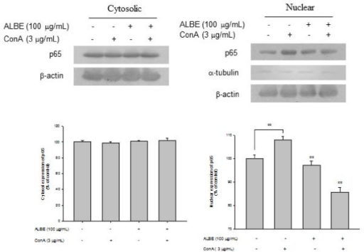 Effects of ALBE on NF-κB activation in ConA-induced primary murine splenocytes. ALBE (100 μg/ml) were treated to splenocytes with or without ConA (3 μg/ml) for 15 min. After isolation of cytosolic and nuclear fraction, the translocation of NF-κB (p65) was assessed by Western blotting described in methods respectively. ##P < 0.01: significantly different from the untreated group. **P < 0.01: significantly different from the ConA alone group.