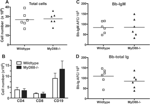 Lymphadenopathy and lymph node B cell activation are independent of MyD88-signaling.Control C57BL/6 (wildtype) and congenic MyD88−/− mice (n = 6 per group) were infected with host-adapted B. burgdorferi for 10 days. Lymph nodes were harvested and compared for (A) total cellularity and (B) numbers of CD4, CD8 and CD19 as assessed by flow cytometry. ELISPOT analysis was conducted to determine numbers of (C) borrelia-specific IgM or (D) all Ig-isotype secreting borrelia-specific cells. For scatter plots, each symbol represents the result from an individual animal. Lines indicate mean of the group. Bar chart shows the mean values ± SD. Results are pooled from two independent experiments. Statistical analysis for (A) (C) (D) was conducted by Student's t test and (B) by two-way ANOVA. None of the data showed significant differences between control and MyD88−/− mice.