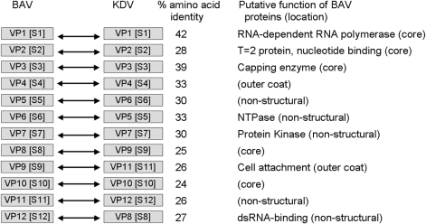 Comparison of nucleotide and amino acid sequences of genome segments of viral proteins (VP) and dsRNA segments (S) of Banna virus (BAV) and Kadipiro virus (KDV). NTP, nucleoside triphosphatase.