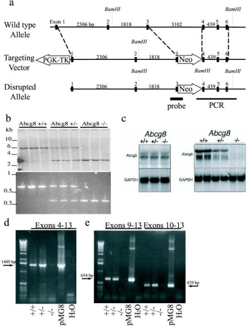 Generation of mice deficient in Abcg8/sterolin-2. The targeted disruption strategy of Abcg8 is as shown (panel a). Southern blot analysis of BamHI digested mouse genomic DNA, probed with [32P]-randomly labelled probe resulting in a 6.0 kb band for wild type, a 2.7 kb band for homozygous and two bands of 5.9 and 2.6 kb for the heterozygote (panel b). Northern blot analysis of hepatic RNA showed a loss of Abcg8/sterolin-2 mRNA in the homozygote and decreased Abcg8/sterolin-2 mRNA in the heterozygote, although Abcg5/sterolin-1 mRNA appeared relatively unaffected in the knockout mice (panel c). Probes were approximately 1.9 kb for Abcg5 and 2 kb for Abcg8 (see Methods for more detail). RT-PCR analyses of hepatic cDNA showed no Abcg8/sterolin-2 message, downstream of exon 4 in the Abcg8-/- mice, whether primers were located in exons 4 and 13 (panel d), exons 9 and 13 or exons 10 and 13 (panel e).
