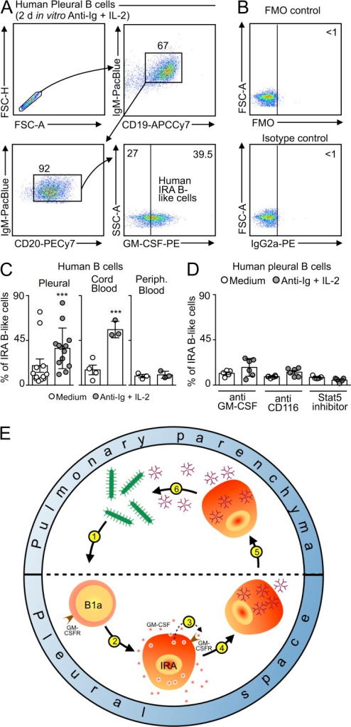 IRA B cells in humans. (A) Human pleural B cells were placed in vitro for 2 d and stimulated with anti-Ig and IL-2. Data show the appearance of GM-CSF–producing, IRA-like B cells. (B) Fluorescence-minus-one (FMO) and isotype controls of stimulated human B cells. (C) Total B cells were collected from human pleural space, cord blood, and peripheral blood and cultured for 2 d either in medium or with anti-Ig and IL-2 stimulation. Data show quantity of IRA-like B cells appearing in each condition. (D) Total B cells from the pleural space were cultured as in C, and with anti–GM-CSF, anti-CD116, or a Stat5 inhibitor. Data show quantity of IRA-like B cells appearing in each condition (n = 4–15). Relevant data are presented as mean ± SD. ***, P < 0.001. (E) Model for the function of IRA B cells in mouse pneumonia. During airway infection pleural space B1a cells recognize bacteria or its components (1). This leads to the generation (2) of IRA B cells which produce GM-CSF and express the GM-CSF receptor. GM-CSF acts on its receptor in an autocrine (3) manner. The signaling orchestrates generation of IgM-producing cells (4) which relocate to the lung (5). IgM derived from pleural space B cells is essential to the control of bacteremia (6).