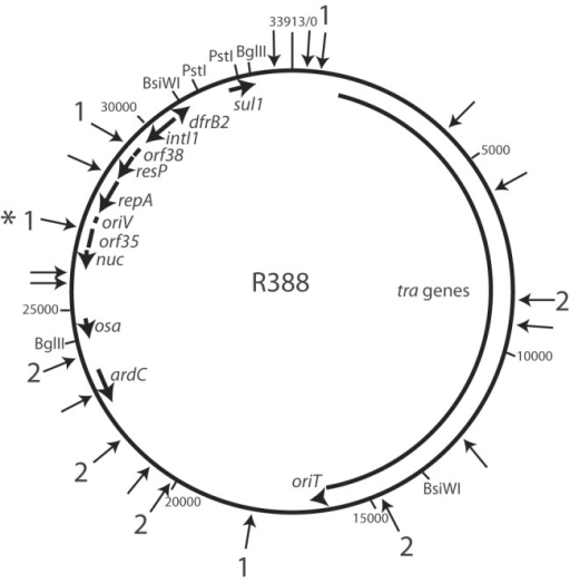 Cointegrate formation between pRMH762 and R388. The R388 backbone is drawn to scale from GenBank accession no. BR000038 with key resistance genes, genes involved in replication (repA), and genes involved in conjugative transfer (tra) shown as arrows inside the circular backbone. Arrows pointing toward the circular backbone indicate the location of 20 mapped R388::pRMH762 cointegrates. The precise location and orientation of nine cointegrates were determined by sequencing. An arrow labeled 1 indicates a cointegrate with tnp26 facing clockwise, while an arrow labeled 2 indicates a cointegrate with tnp26 facing counterclockwise. An asterisk denotes the cointegrate used in the construction of R388::IS26.