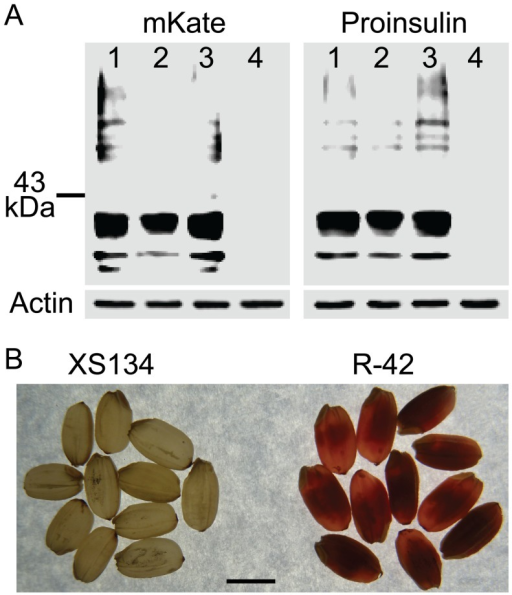 Analysis of the fusion protein in transgenic rice seeds.A) Protein levels of fusion protein of mKate and human proinsulin in non-transgenic control and three independent transgenic events R-6, R-11 and R-42. Left panel, protein blot with the antibody to mKate; Right panel, protein blot with the antibody to proinsulin. In both left and right panels, using protein blot with the antibody to plant actin as loading control. Lanes 1-4, event R-6, R-11, R-42 and non-transgenic control, respectively. B) Transparency of ripened rice seeds. XS-134, non-transgenic control; R-42, a transgenic rice event. Scale bar, 2 mm.