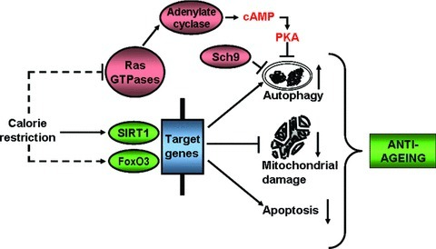 Calorie restriction induced signalling and autophagy interplay in the ageing process. SIRT1, sirtuin 1; FoxO, forkhead box; Sch9, Saccharomyces cerevisiae kinase 9; PKA, protein kinase A.