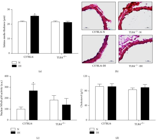 TLR4 signaling is involved in IH-induced vascular remodeling. Morphometric and inflammatory remodeling of aorta was assessed in C57BL/6 and TLR4−/− mice exposed to 4 weeks of intermittent hypoxia (IH) or normoxia (N). (a) Aortic intima-media thickness quantification, (b) representative photographs of aorta remodeling (wall thickness represented by white double-headed arrows), (c) quantification of activated NFκB (NFκB-p50 activity) in aorta (n = 8–11 per group). (d) Plasma levels of total cholesterol in C57BL/6 and TLR4−/− mice exposed to 4 weeks of IH or N, n = 12–16 per group. *P < 0.05 IH/C57BL/6 versus N/C57BL/6.