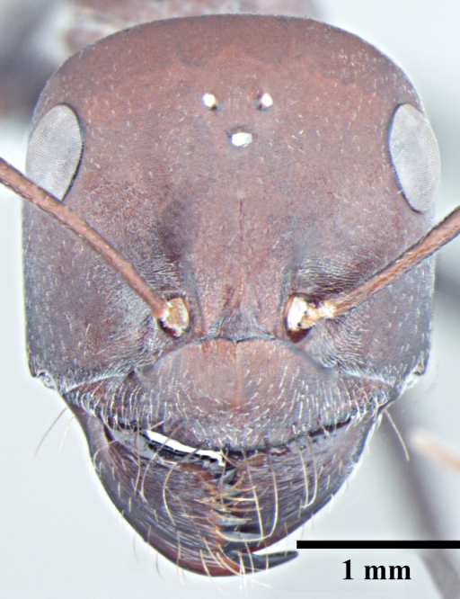 Major worker head, full face view