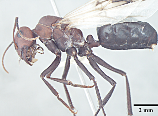 Queen body, lateral view