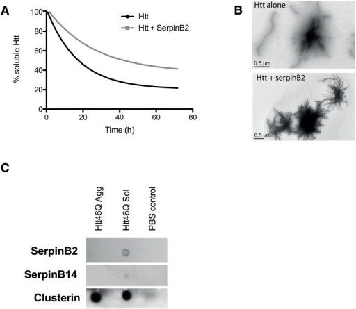 SerpinB2 attenuates Htt42q fibril formation in vitro.A. Soluble Htt remaining in Httex146Q-Cerulean aggregation reactions in the absence or presence of SerpinB2 (equimolar ratio); B. TEM images of fibril formation at 72 h; C. Representative ligand blot (n = 3) showing differences in binding of SerpinB2 to soluble and aggregated Httex146Q. Binding was determined by immunoassay. SerpinB14 or clusterin binding to soluble and aggregated Httex146Q are also shown.