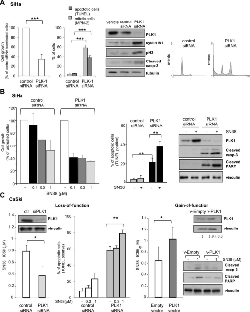 Effects of loss- and gain-of-function on SCC cell linesA) SiHa cells were treated with transfection reagent (vehicle), aspecific RNA oligonucleotide (control siRNA) or PLK1-directed siRNA (PLK1 siRNA). Left panel, the effect of PLK1 knockdown on cell growth (cell counting), induction of apoptosis (TUNEL assay) and mitotic cell number (MPM-2 detection by immunofluorescence) was assayed 72h after transfection. Values of cell growth are given in percentage ± SD referred to the negative control siRNA-transfected cells (100%). Central panel, cells were lysed 48h after transfection to assess levels of PLK1 and apoptotic or G2/M cell cycle phase specific markers by Western blot analysis. Tubulin is shown as a loading control. Right panel shows FACS analysis of DNA content and cell cycle distribution of cells stained with propidium-iodide 72h after transfection B) SN38 antiproliferative activity and apoptosis induction were examined in SiHa cells transiently transfected with control or PLK1-directed siRNA. Twenty four hours after transfection, cells were exposed to solvent (−) or to the indicated concentrations of SN38 for 1h. Three days after the end of treatment, the drug antiproliferative activity was evaluated by cell counting (left panel). Values are expressed as percentage ± SD of untreated cells (100%) from three independent experiments. Apoptosis was assessed by TUNEL assay (central panel) and Western blot analysis of PLK1 and cleavage of caspase-3 and PARP was performed in cells exposed to 3 μM SN38 (right panel). Protein loading is shown by vinculin. C) CaSki cells were transiently transfected with control or PLK1-directed siRNAs (Loss-of-function) or, alternatively, with empty or PLK1-expressing vector (Gain-of-function). Left, 24h after siRNA transfection, cells were exposed to SN38 for 72h to assess drug antiproliferative activity by cell counting. Apoptosis induction by SN38 was evaluated in siRNA-transfected cells by TUNEL assay 72h after treatment. Western blots show, on the left, levels of PLK1 after 72h of PLK1 siRNA transfection. Right, 24h after transfection with the PLK1 expression vector, cells were exposed to SN38 and IC50s were calculated after 72h. Western blots in the upper panel show PLK1 levels after 72h of PLK1 vector transfection. PLK1 bands were quantified using ImageJ software and normalized to vinculin. Values are expressed as arbitrary units referred to v-Empty-transfected cells (two independent experiments). In the lower panel, caspase-3 and PARP cleavage after 72h of SN38 treatment is shown (96h after transfection). Vinculin is shown as a control of protein loading. Columns and bars: mean percentage ± SD from three independent experiments. *P < 0.05; **P < 0.01, ***P<0.001 by Student's t test