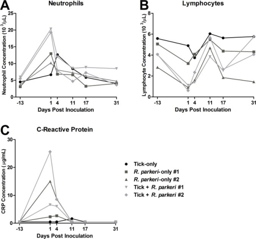 Evidence of an acute phase inflammatory response in response to R. parkeri inoculation.Comparisons of neutrophil (A), lymphocyte (B), and C-reactive protein (C) concentrations in peripheral blood of all animals at the various time points indicated. Neutrophilia, lymphopenia, and elevated C-reactive protein were noted in the acute phase of infection after R. parkeri inoculation with greater neutrophilia noted in the tick + R. parkeri group. For presentation purposes all of the final time points are plotted as 31 dpi as opposed to 31, 32, and 35 dpi for the tick-only, tick feeding + R. parkeri, and R. parkeri-only groups, respectively.