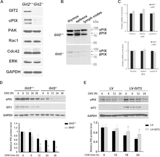 GIT2 Increased Protein Stability of αPIX. (A) Purified splenic T cells from the Git2+/+ and Git2−/− mice were analyzed for the expression of PAK, PIX, Rac1, and CDC42 by western-blot. Antibodies against the GAPDH served as a control. (B) Cell homogenates from the indicated tissues from the Git2+/+ and Git2−/− mice were resolved by SDS–PAGE and immunoblotted with a polyclonal anti-PIX antibody. (C) Expression analysis of αPIX or βPIX in indicated tissues by real-time PCR using primers recognizing either αPIX or βPIX. (D) Purified splenic T cells from the Git2+/+ and Git2−/− mice were cultured on 24-well plates with or without 50 μg/ml of cycloheximide (CHX) for the indicated times. (E) Purified splenic T cells from the Git2−/− mice were cultured on 24-well plates and infected with pBPLV-GIT2 or mock virus. 24 h later, the cells were treated with or without 50 μg/ml of cycloheximide (CHX) for the indicated times. αPIX and GIT2 expression were analyzed by Western blotting. Antibodies against the GAPDH served as a control. For (D) & (E), the immunoblot bands were scanned for densitometry analysis with the value obtained from control cells set as 1 (bottom). The results were representative of three independent experiments and error bars represent standard deviations (*P < 0.05).