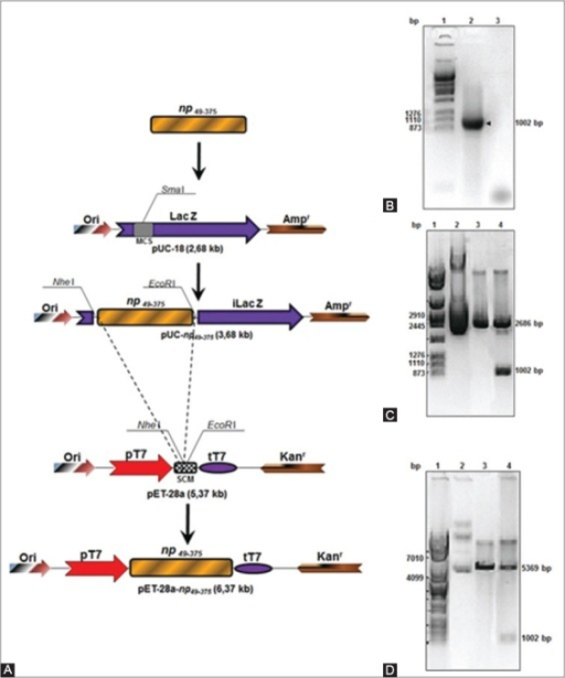 Isolation of a segment of the gene np and construction of the expression vector. (A) Cloning representation of a gene coding for a segment of the protein NP from avian influenza virus subtype H7N1 comprising the aminoacids 49-375 (np49-375) in the plasmid pUC-18 and in the expression vector pET-28a. (B) Isolation of the gene np49-375 by PCR. 1- Molecular weight marker (MWM) (pAdEasy digested with the enzyme Apa I), 2- DNA segment corresponding to the gene np49-375, 3- PCR reaction with primers and without template. (C) Electrophoresis in agarose gel (1%) of the restriction analysis for the plasmid pUC-np49-375. 1- MWM, 2- Plasmid pUC-np49-375 undigested, 3- Plasmid pUC18 digested with the enzymes Nhe I/EcoR I, 4- Plasmid pUC-np49-375 digested with the enzymes Nhe I/EcoR I. (D) Electrophoresis in agarose gel (1%) of the restriction analysis for the plasmid pET-28a-np49-375. 1- MWM, 2- Plasmid pET-28a-np49-375 undigested, 3- Plasmid pET-28a digested with the enzymes Nhe I/EcoR I, 4- Plasmid pET-28a-np49-375 digested with the enzymes Nhe I/EcoR I.