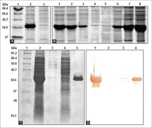 Solubilization and purification of the protein NP49-375. (A) SDS-PAGE (12.5%) of the different fractions after the rupture. 1- MWM (New England Biolabs, USA). 2- Rupture pellet. 3- Rupture supernatant (B) Solubilization with GuHCl. 1- Pellet GuHCl 1M, 2- Pellet GuHCl 2M, 3- Pellet GuHCl 4M, 4- Pellet GuHCl 6M, 5- Supernatant GuHCl 1M, 6- Supernatant GuHCl 2M, 7- Supernatant GuHCl 4M, 8- Supernatant GuHCl 6M. SDS-PAGE (12.5%) (C) and Western blot (D) of the different stages in the purification process performed by IMAC. 1- MWM (New England Biolabs, USA), 2- Initial sample, 3- Non-attached proteins, 4- Wash 20 mM Imidazole, 5- Elution 100 mM Imidazole.