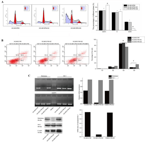 Downregulation of matriptase results in cell cycle arrest and increased apoptosis in HO-8910PM cells. (A) Flow cytometry analysis demonstrated that the percentage of cells in the G1/G0 phase was significantly higher for matriptase-depleted HO-8910PM-SI2 cells than for HO-8910PM-NC and HO-8910PM cells (42.73±0.39%, P<0.01). Tthe percentage of HO-8910PM-SI2 cells in the G2/M phase was significantly lower (4.16±0.74%) than that of HO-8910PM-NC (17.65±0.63%, P<0.01) and HO-8910PM cells (18.35±0.65%, P<0.01). Conversely, no differences in S phase content were noted among the 3 cell lines. (B) Matriptase depletion significantly decreased the percentage of surviving cells and increased the percentage of early apoptotic cells in HO-8910PM-SI2 cells compared with the negative control and wild type cells. The percentages of late apoptotic and necrotic cells were not significantly different. (C) Relative mRNA and protein expression levels of matriptase and HAI-1 were detected in HO-8910PM, HO-8910PM-SI2 and HO-8910PM-NC cells. The highest silencing efficiency was achieved in HO-8910PM-SI2 cells using matriptase-SI2. The mRNA and protein expression levels of matriptase and HAI-1 were comparable in HO-8910 and HO-8910-NC cells.#compared with HO-8910PM-NC and HO-8910PM cells, significantly fewer HO-8910PM-SI2 cells survived and the number of early apoptotic HO-8910PM-SI2 cells was significantly higher. *P>0.05 vs. HO-8910PM; #P<0.05 vs. HO-8910PM. Q1, cellular debris, Q2, late apoptotic and necrotic cells, Q3, surviving cells, Q4, early apoptotic cells. NC, negative control; SI, small interfering RNA; HAI-1, hepatocyte growth factor activator inhibitor-1.