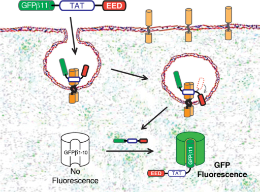 The study concept.PTD/CPP binds to negatively charged molecules on the cell surface and stimulates macropinocytotic uptake and endosomal escape of GFPβ11-PTD/CPP peptide into the cytoplasm. When concentrated with the PTD/CPP in the endosomes, the hydrophobic EED motif buries itself into the lipid bilayer membrane which leads to a localized membrane destabilization that enhances endosomal escape into the cytoplasm. Binding of GFPβ11 peptide to non-fluorescent GFPβ1-10 protein fragment in the cytoplasm induces chemical formation of the GFP fluorescent chromophore.