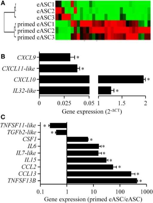 Effect of IFNγ-priming on the inflammatory gene profile of eASCs. Gene array analysis of inflammatory cytokines and chemokines mRNA compared naïve and IFNγ-primed eASCs. (A) Hierarchical clustering comparing naïve or IFNγ-primed eASCs, (B) induced gene expression levels in IFNγ-primed eASCs expressed as relative expression (2−ΔCT), (C) significantly modulated gene expression levels in IFNγ-primed eASCs. Results are represented as mean ± SEM for three independent biological replicates. Data were analyzed using the Mann–Whitney test. *p < 0.05.