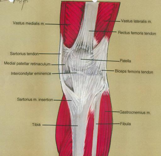vastus medialis muscle; sartorius tendon; medial patell | Open-i