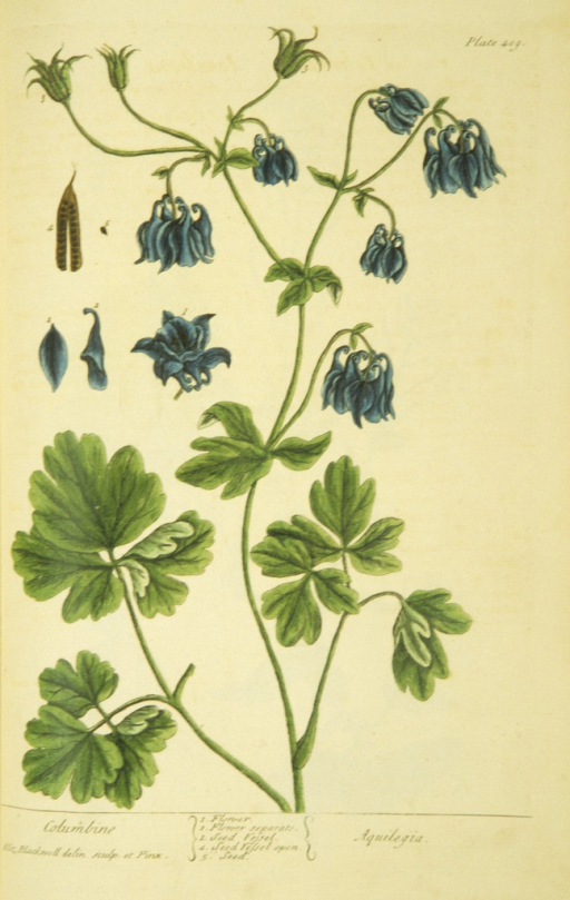 <p>Illustration of the flowers and seeds of a columbine plant.</p>