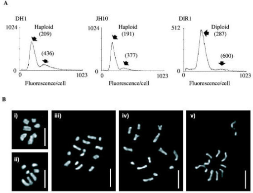 The ploidy of DH1, JH10 and DIR1 cells was verified by (A) FACS analysis of DNA content, and (B) cytological staining of mitotic nuclei to visualise the chromomsomes. Strains are: (i) DH1, (ii) JH10, (iii) & (iv) DIR1. Panel (v) shows a possible mitotic non-disjunction event after exposure to thiabendazole. Bars indicate 2 μm.