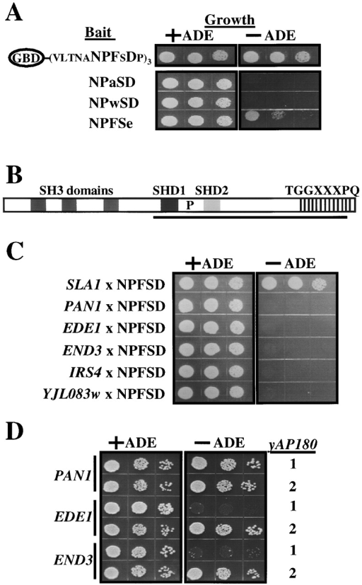 NPFSD specifically interacts with the COOH-terminal region of Sla1p. (A) Bait constructs used in the two-hybrid analysis. Three repeats of the NPFSD signal linked by Ste2p aa298–318 to the Gal4p DNA binding domain (GBD), and mutant versions shown below, were tested for interaction with the SLA1 fragment isolated in the two-hybrid screen. Interaction was assessed in PJ69–4A by growth of serial diluted cells at 30°C on synthetic media containing (+ADE) or lacking (−ADE) adenine. (B) Domain architecture of Sla1p. Indicated are SH3 domains, SLA1 homology domain 1 and 2 (SHD1 and SHD2), a predicted proline-rich SH3 binding site (P), and multiple repeats of TGGXXXPQ (vertical lines). The Sla1p fragment isolated from the two-hybrid screen (K471-T1185) is underlined. (C) The Sla1p fragment and indicated EH-domain proteins were tested for interaction with NPFSD as in A. (D) Yeast EH-domain encoding genes were tested for interaction with YAP180s as above.