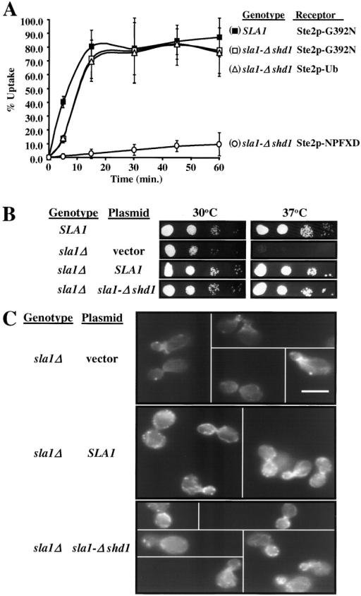 NPFX(1,2)D mediated endocytosis requires SHD1. (A) Effects of deleting Sla1p SHD1 on receptor mediated endocytosis. Uptake of Ste2p-G392N, Ste2p-Ub (Ste2p-G392A), or Ste2p-NPFXD (Ste2p11KR-G392N) was measured in sla1-Δshd1 cells (GPY 2493, GPY2494, and GPY 2495) and Ste2p-G392N in SLA1 cells (GPY2490) as in Fig. 1. (B) Effects of deleting Sla1p SHD1 on growth. GPY2448 (sla1Δ) was transformed with centromeric plasmids containing no insert (vector), wild-type SLA1, or sla1-Δshd1 and the resulting strains (GPY2487, GPY 2490, and GPY 2493, respectively) plus wild-type strain GPY1805 were serially diluted onto synthetic media and examined for growth after 3 d at the indicated temperatures. (C) Effects of deleting Sla1p SHD1 on actin organization. Gallery of cells from strains GPY2487 (sla1Δ, vector), GPY2490 (sla1Δ, SLA1), and GPY2493 (sla1Δ, sla1-Δshd1) grown at 30°C and then fixed and stained with rhodamine phalloidin. Bar, 5 microns.