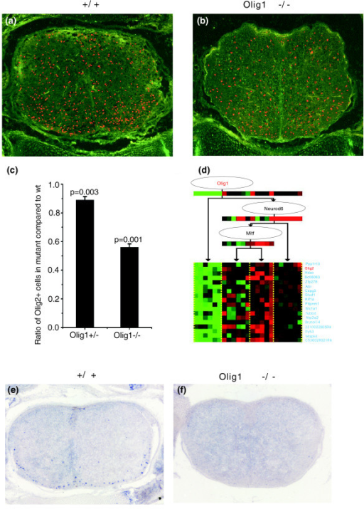 Downregulation of Olig2 and TCF4 expression in Olig1 mutants. Spinal cord sections from E18.5 (a) wild-type and (b) Olig1 mutant embryos were subjected to immunofluorescence labeling (in red) with anti-Olig2 antibody. The number of Olig2+ cells was significantly reduced in the mutants. (c) Statistical analysis of Olig2+ cells in the Olig1+/- and Olig1-/- spinal cords compared to the wild-type (wt). Values were presented as mean ± standard deviation. (d) Regulation of the largest module shows that the Olig1 regulates the expression of Olig2. (e, f) Spinal cord sections from E18.5 wild-type (e) and Olig1 mutant (f) embryos were subject to in situ RNA hybridization with TCF4 antisense riboprobe. Expression of TCF4 was not detected in the mutants at this stage.