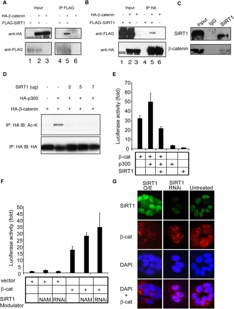 SIRT1 represses β-catenin transcriptional activity by directly interacting with and deacetylating β-catenin.(A) Human 293T cells were transiently transfected with HA-S33Y-β-catenin in combination with either FLAG-tagged SIRT1 or vector control. Aliquots of total protein were subjected to immunoprecipitation with anti-FLAG antibody (IP FLAG). Immunoprecipitated proteins were immunoblotted with anti-HA (upper panel) and anti-FLAG (lower panel). Left lanes, unprocessed extracts (input). (B) Human 293T cells were transfected as in panel A. Proteins immunoprecipitated with anti-HA antibody and immunoblotted with anti-FLAG (upper panel), and anti-HA (lower panel). Left lanes, unprocessed extracts (input). (C) Immunoprecipitation of SIRT1 from LN-CAP cell extracts using anti-SIRT1 antibody or normal rabbit IgG as a control (IgG). 10% of the immunoprecipitated protein was then blotted with anti-SIRT1 (upper panel) while the remaining 90% was blotted with anti-β-catenin antibodies. (D) 293T cells were transfected as indicated and lysed 48 hr later. Comparable levels of β-catenin were immunoprecipitated and blotted for acetylated-lysine residues (IP: HA IB: Ac-K; upper panel). The blot was reprobed for HA to demonstrate approximately equal levels of the HA-β-catenin (IP: HA IB: HA; lower panel). (E–F) 293T cells were transfected as indicated together with the TOP-FLASH luciferase and PRL-TK Renilla luciferase construct. Nicotinamide (NAM) or retroviral SIRT1 shRNA (RNAi) was added as indicated. Data are normalized with respect to Renilla luciferase activity. The data are means±s.d. from samples performed in triplicate. (G) Indirect immunofluorescence staining of DLD-1 colon cancer cells infected with empty retrovirus or virus containing SIRT1 shRNA (RNAi) or SIRT1 cDNA (overexpression, O/E). Percent of cells with high, medium, or low levels of nuclear β-catenin staining for untreated: 6.5, 80.6, 12.9; SIRT1 O/E: 0, 29.4, 70.5; SIRT1 RNAi: 60.0, 32.0, 0.8. Images were taken at 100× magnification.
