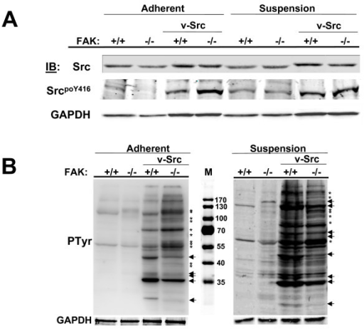 FAK- and adhesion-effects on v-Src substrate choice. (A) FAK+/+[puro], FAK-/-[puro], FAK+/+[v-Src] and FAK-/-[v-Src] cells grown in adherent or suspension conditions as described in Experimental Procedures were analyzed by IB for levels of total Src, SrcpoY416 autophosphorylation or GAPDH (as a loading control). [Note that the decrease in Src protein, SrcpoY416 and GAPDH levels in lane 2 (second from left) is not reproducible; relative Src activation levels in adherent FAK-/-[v-Src] cells are typically comparable to those in adherent FAK+/+[v-Src] cells]. (B) Anti-phosphotyrosine (MAb4G10) IB from equal protein loads of FAK+/+[puro], FAK-/-[puro], FAK+/+[v-Src] and FAK-/-[v-Src] cell lysates. M, proteins markers in kDa. Decreased Src-induced tyrosine phosphorylation events in the absence of FAK are marked by arrows whereas increased tyrosine phosphorylation events in the absence of FAK are marked by asterisks. These data are typical of at least three independent experiments. A GAPDH IB is shown below as a loading control.