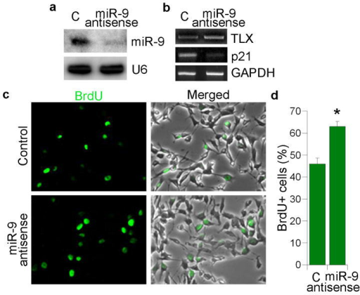 miR-9 antisense RNA promotes neural stem cell proliferationa. 2′-O-methyl miR-9 antisense RNA knocks down miR-9 mature form analyzed by Northern blot analysis. 2′-O-methyl antisense GFP RNA was included as a negative control (C) in all sections. U6 was included as a loading control. b. Expression of TLX and p21 in 2′-O-methyl miR-9 antisense RNA-treated neural stem cells analyzed by RT-PCR. GAPDH was included as a loading control. c. Neural stem cells were transfected with control RNA and 2′-O-methyl miR-9 antisense RNA. The transfected cells were labeled by BrdU staining (green). Merged panels show BrdU staining along with phase contrast images. d. Quantification of BrdU+ cells in control (C) and 2′-O-methyl miR-9 antisense RNA-treated neural stem cells. s.d. is represented by error bars. * p=0.03 by Student's t-test.