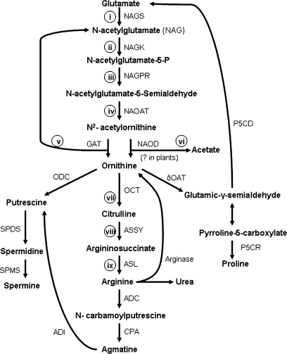 arginine sythesis pathway Nitric oxide is synthesized from the amino acid l-arginine by a family  the l-arginine-nitric oxide pathway 1 8the synthesis of nitric oxide by vascular endothelium is responsible for the .